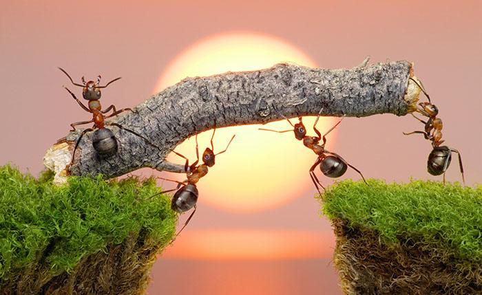 Kiến có kỹ năng làm việc teamwork cực kỹ tuyệt vời